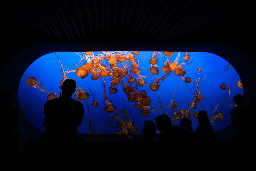 drive-swim-fly-monterey-bay-aquarium-california-monterey-peninsula-jellyfish