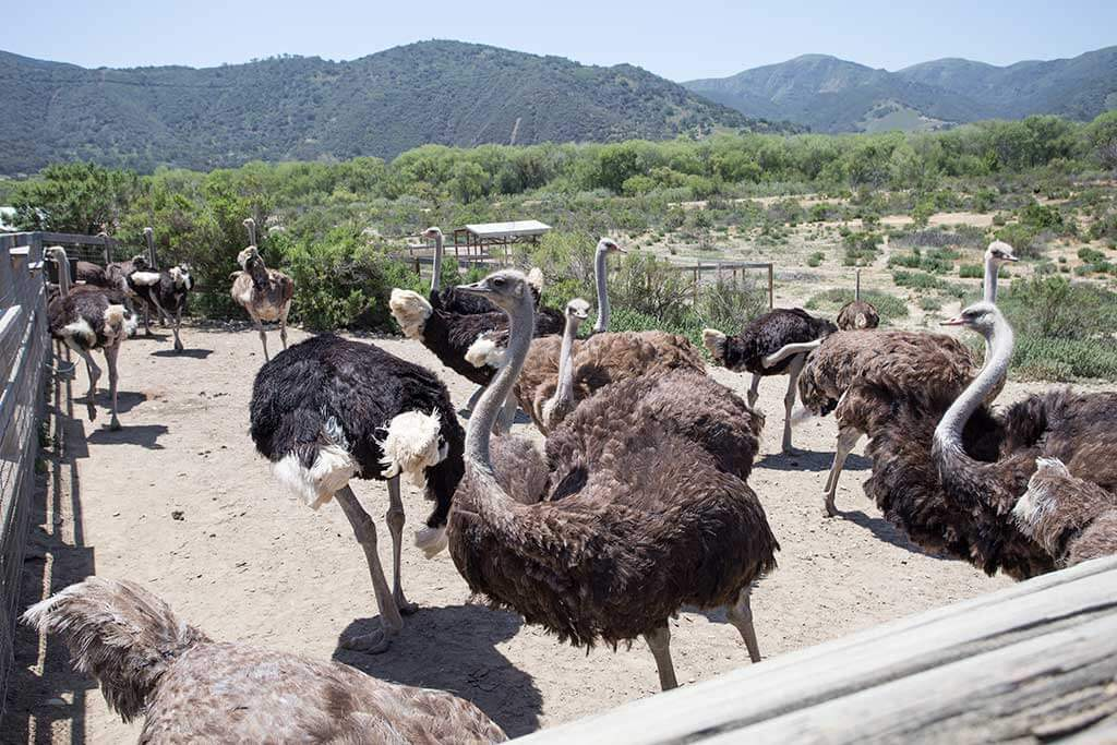 drive-swim-fly-solvang-california-ostrich-land-habitat