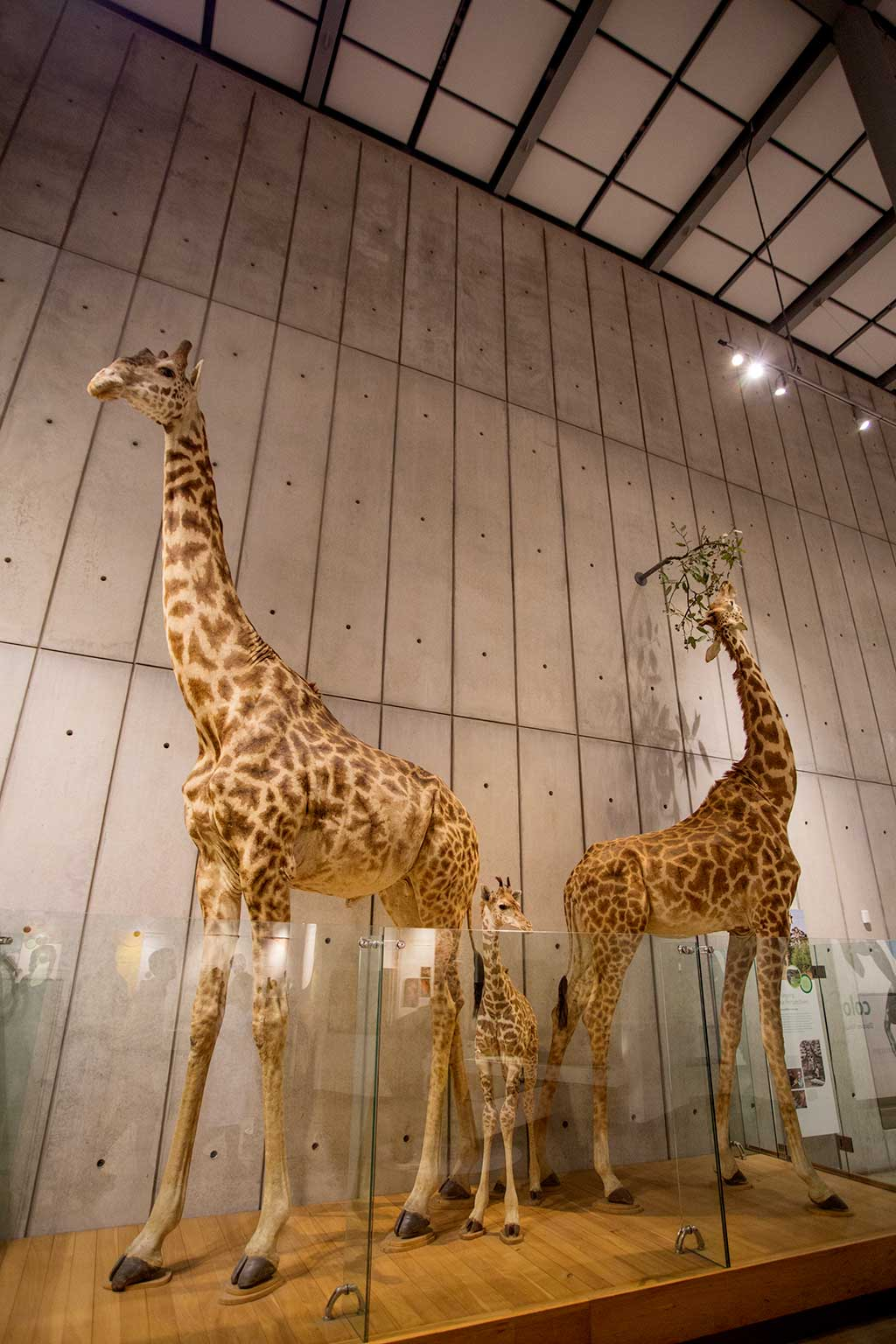 drive-swim-fly-california-academy-of-sciences-san-francisco-nitelife-adult-museum-night-giraffes-taxidermy