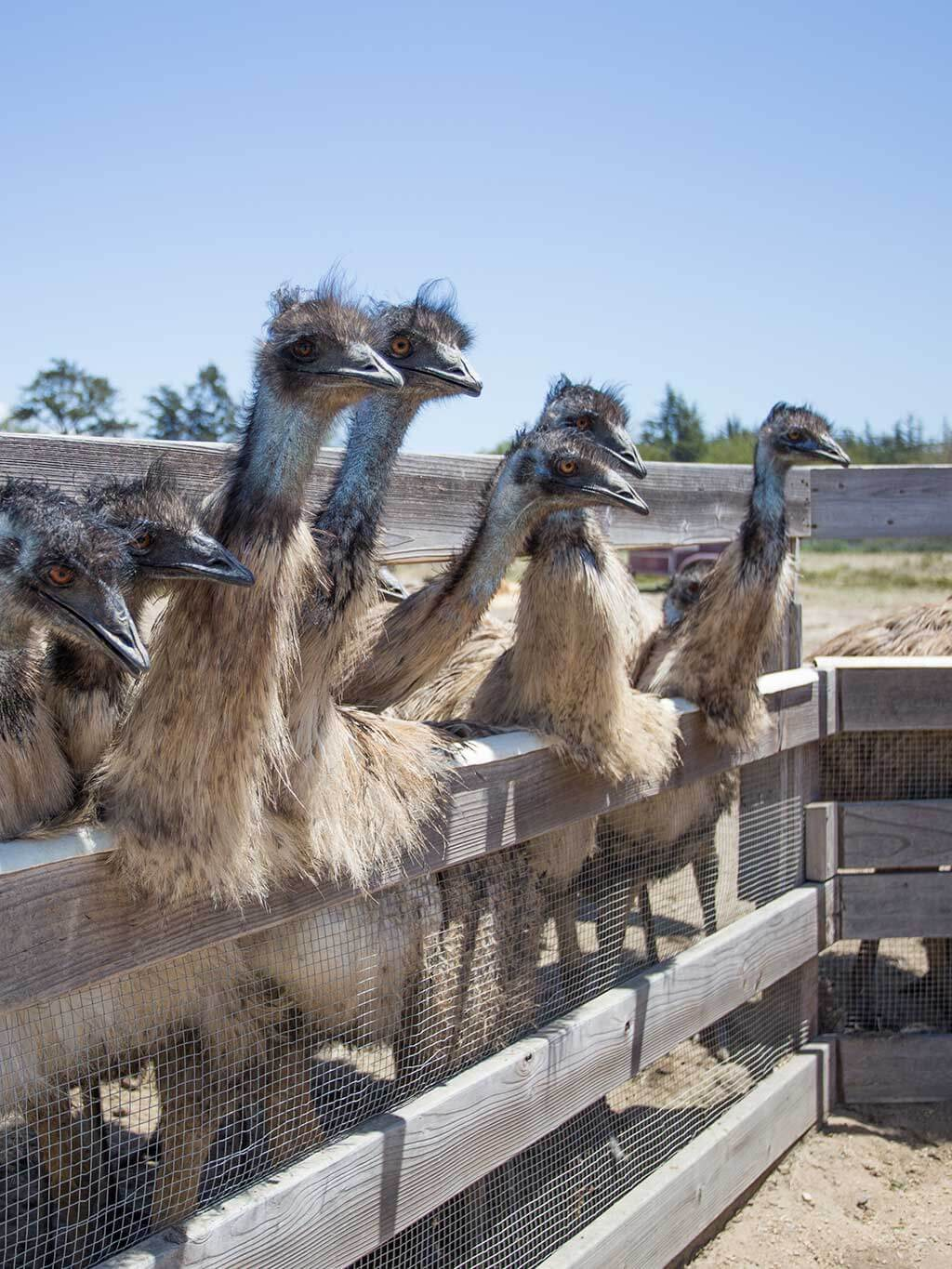 drive-swim-fly-solvang-california-ostrich-land-emus