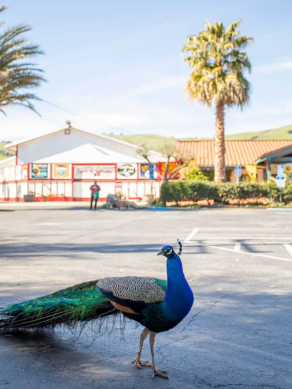 drive-swim-fly-california-casa-de-fruita-roadside-attraction-pacheco-pass-highway-pit-stop-peacock