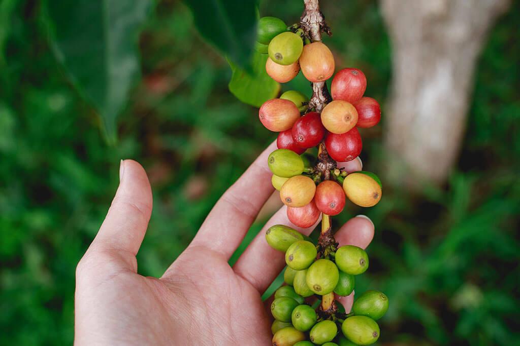 drive-swim-fly-hawaii-big-island-kona-coast-greenwell-coffee-farm-tour-coffee-tree-beans-ripe-photo-by-katya-austin-unsplash