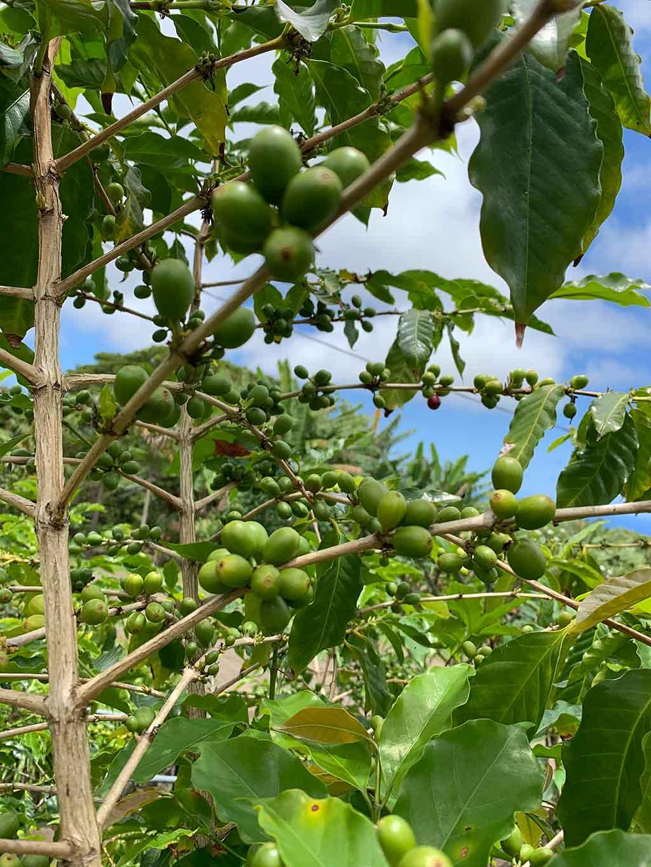 drive-swim-fly-hawaii-big-island-kona-coast-kealakekua-greenwell-coffee-farm