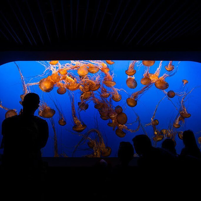 drive-swim-fly-monterey-bay-aquarium-california-monterey-peninsula-jellyfish
